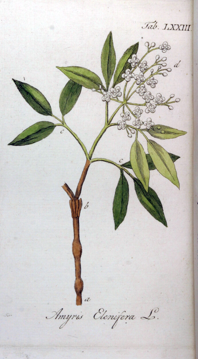 You are currently viewing Olejek eteryczny amyrisowy (Amyris balsamifera)