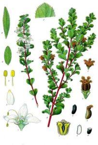 Read more about the article Olejek eteryczny buchu (Agathosma betulina)