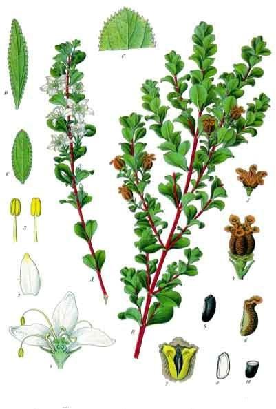 You are currently viewing Olejek eteryczny buchu (Agathosma betulina)
