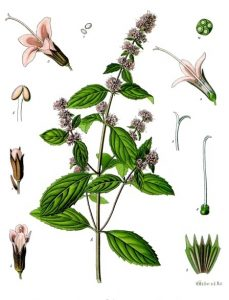 Read more about the article Olejek eteryczny mięty pieprzowej (Mentha piperita)