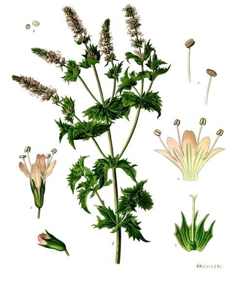 You are currently viewing Olejek eteryczny mięty zielonej (Mentha spicata)