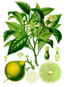 Read more about the article Olejek eteryczny bergamotki (Citrus bergamia)