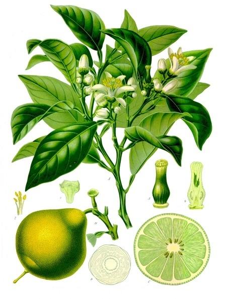 You are currently viewing Olejek eteryczny bergamotki (Citrus bergamia)