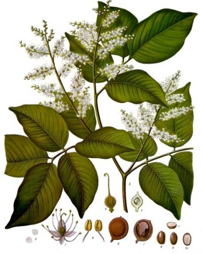 You are currently viewing Olejek eteryczny balsamu Copaiba (Copaifera officinalis)