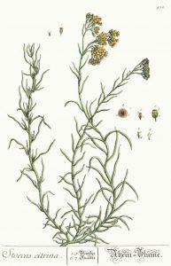 Read more about the article Olejek eteryczny kocanek włoskich (Helichrysum italicum)