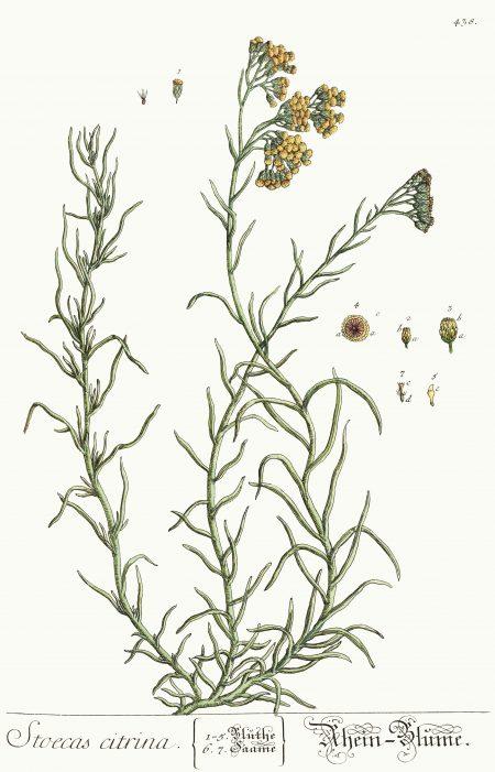 You are currently viewing Olejek eteryczny kocanek włoskich (Helichrysum italicum)