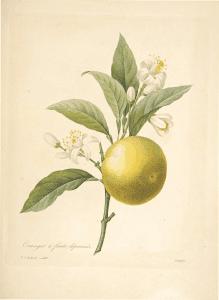 Read more about the article Olejek eteryczny pomarańczy słodkiej (Citrus sinensis)