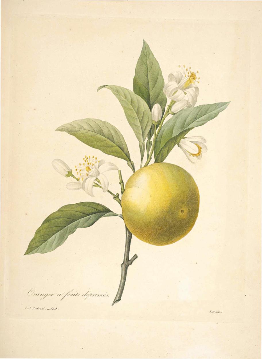 You are currently viewing Olejek eteryczny pomarańczy słodkiej (Citrus sinensis)