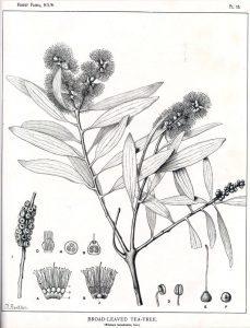 Read more about the article Olejek eteryczny kajeputowy (Melaleuca leucadendron)