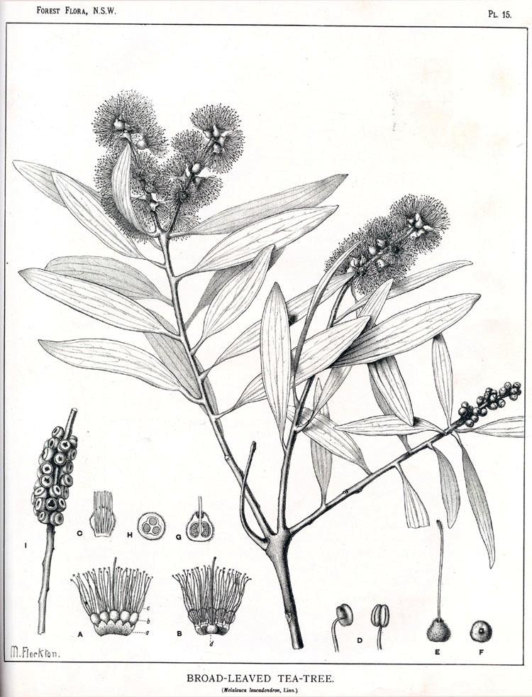 You are currently viewing Olejek eteryczny kajeputowy (Melaleuca leucadendron)