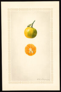 Read more about the article Olejek eteryczny mandarynki (Citrus reticulata)