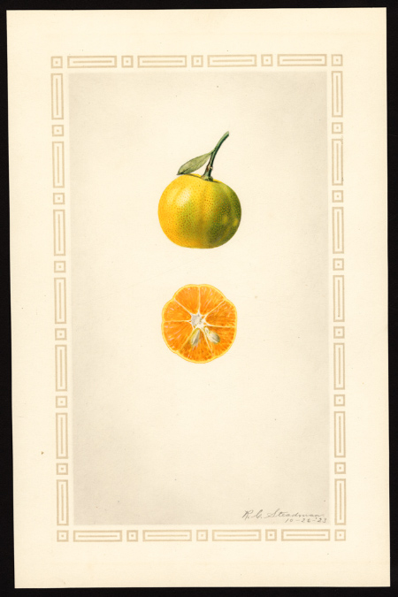 You are currently viewing Olejek eteryczny mandarynki (Citrus reticulata)