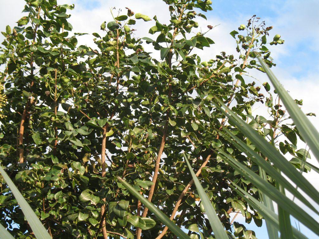 Drzewo amyrisu na tle nieba