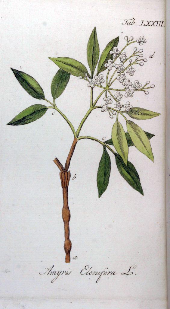 rysunek gałązki amyrisu z liśćmi i kwiatami