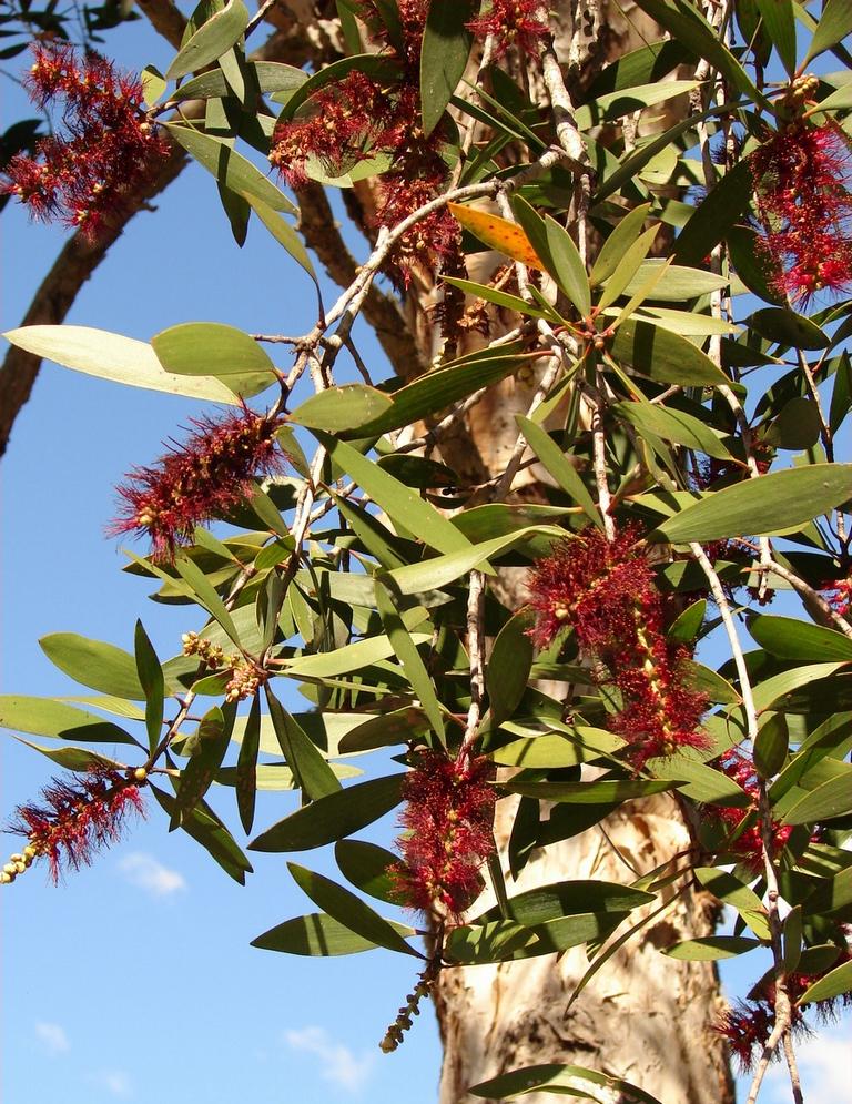 olejek eteryczny niaouli ma działanie przeciwgrzybiczne i przeciwbakteryjne. Pozyskiwany jest z liści drzewa niaouli, spokrewnionego z kajeputem i drzewkiem herbacianym.
